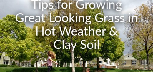 Growing-Grass-in-Hot-Weather