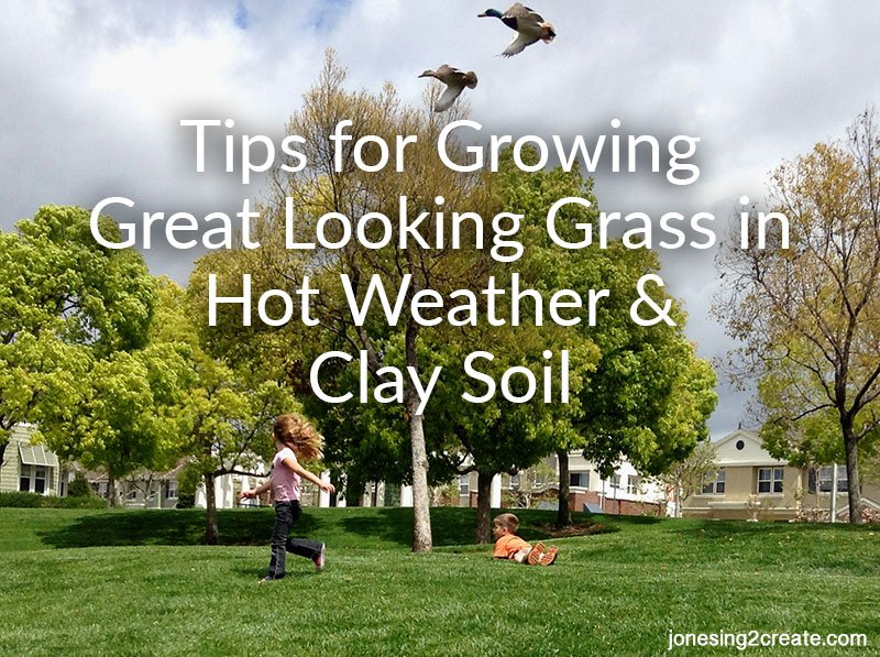 growing grass in hot weather